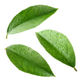 Lemon leaves with drops isolated on white Stock Image