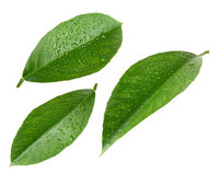Lemon leaves with drops isolated on white Royalty Free Stock Photos