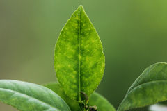 Lemon Leaves Royalty Free Stock Photography