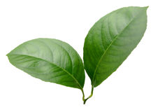 Lemon leaves isolated on white background Royalty Free Stock Photography