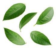 Lemon leaves isolated on white background Stock Photo