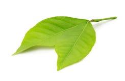 Lemon leaves isolated on the white background Stock Photos