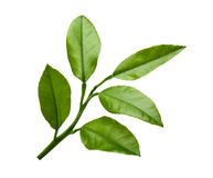 Lemon leaves isolated on white background Stock Image