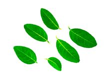 Lemon leaves on a white background royalty free stock images