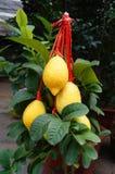 Lemon and lemon fruit Stock Photography