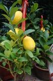Lemon and lemon fruit Royalty Free Stock Image