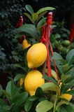 Lemon and lemon fruit Stock Photo