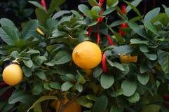 Lemon and lemon fruit Stock Images