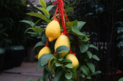 Lemon and lemon fruit Stock Photos