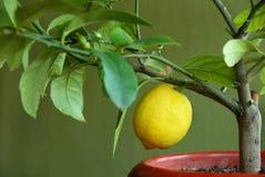 Lemon on lemon-tree. Yellow lemon growing on lemon-tree in flowerpot stock images