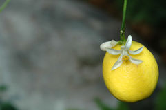 Lemon on lemon tree Stock Photo