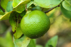 Lemon and lemon tree. Fresh lemon and lemon tree ready for harvest Royalty Free Stock Images
