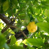 Lemon plant in an orchard of southern Italy. Royalty Free Stock Images