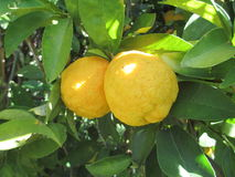 Lemon. S in tree with sunlight and green leaves Stock Images