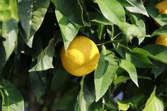 Lemon, lime, in the tree. Green Lemon, lime, fresh fruit in the tree with leaf royalty free stock photo