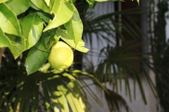 Lemon, lime, in the tree. Green Lemon, lime, fresh fruit in the tree with leaf stock image