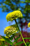 Lemon-Lime Zinnias. Macro image of yellow and green zinnia flowers in the garden on the farm royalty free stock photography