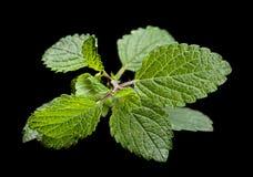 Lemon melissa herb. Lemon melissa leaf closeup isolated on black background royalty free stock image