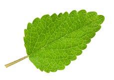 Lemon melissa leaf Royalty Free Stock Photography