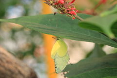 Lemon Migrant Butterflies mating Royalty Free Stock Image