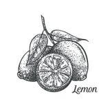 Lemon monochrome vector illustration Stock Photos