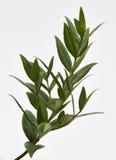 Lemon Myrtle Plant. A close up of a branch from the Lemon Myrtle plant stock image