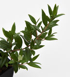 Lemon Myrtle Plant. A close up of a branch from the Lemon Myrtle plant royalty free stock image