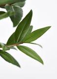 Lemon Myrtle Plant Leaves. A twig from the Lemon Myrtle plant stock image