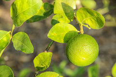 Lemon. Nice green lemon and lemon leaves royalty free stock photography