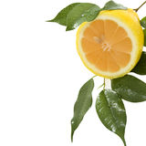 Lemon On Branch With Drops Of Dew Royalty Free Stock Photography