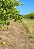Lemon orchard Royalty Free Stock Photo