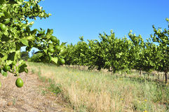 Lemon orchard Royalty Free Stock Images
