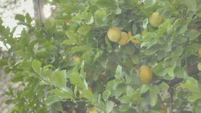 Lemon Orchard under the Sun stock footage