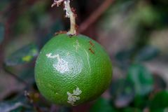 Lemon or organic Lime Tree with red Ants. Over skin in Thailand stock images