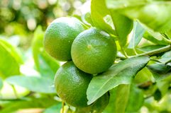 Organic lemon tree with big lime. Lemon or organic Lime Tree in Thailand, with three limes on branch royalty free stock photos