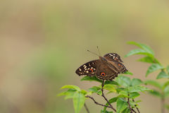 Lemon Pansy butterfly on nature Stock Images