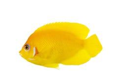Lemon Peel Angelfish. (Centropyge flavissimus) isolated on white background Royalty Free Stock Photography