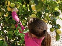 Lemon Picking Royalty Free Stock Photography