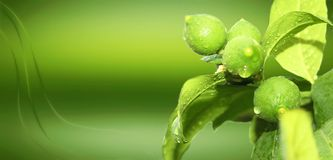 Lemon in plant green organic wallpaper royalty free stock photos