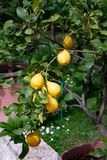 Lemon plant grown in pot in the garden. Tree of yellow lemons shown up close and between the leaves of the trees royalty free stock images