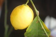 Lemon on the plant. A lemon on the plant Stock Image