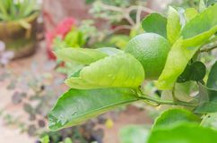 Lemon plant lime growing in the garden stock images