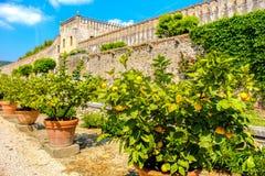 Lemon plant pots. Lemon plant pot sicily citrus fruits royalty free stock photos