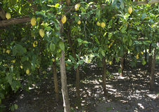 Lemon plantation Stock Image