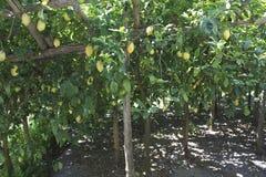 Lemon plantation Royalty Free Stock Photos