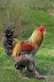Lemon Pyle Brahma Rooster Royalty Free Stock Images