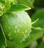 Lemon in the Rain Royalty Free Stock Photos