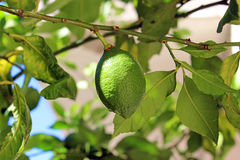 Lemon ripening on the branch Royalty Free Stock Photography
