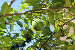 Lemon ripening on the branch. In park Royalty Free Stock Photo