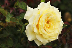 Lemon Rose Stock Photo